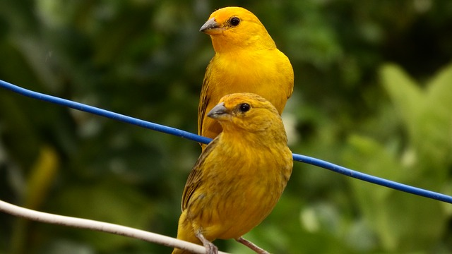 Πτηνά Καναρίνια